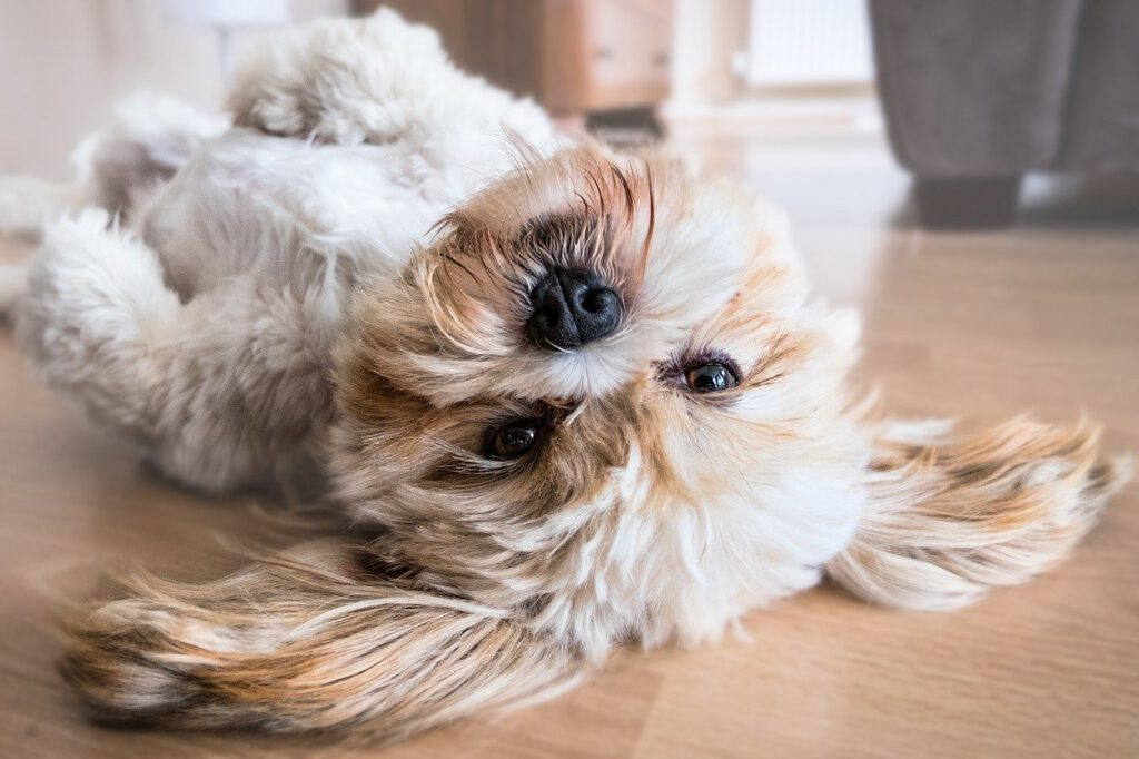 dog, lhasa apso, canine