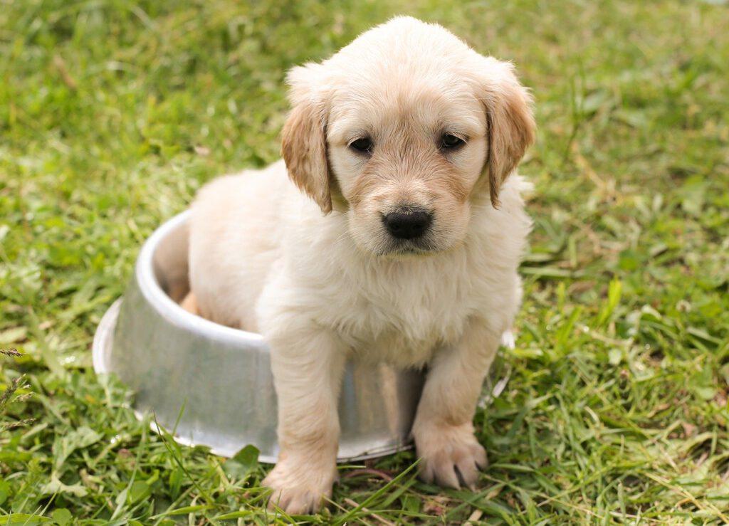 puppy, golden retriever, dog