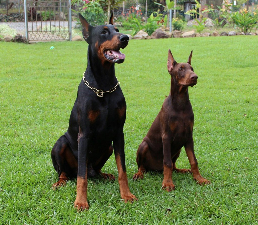 Clicker training games with obedient dobermans